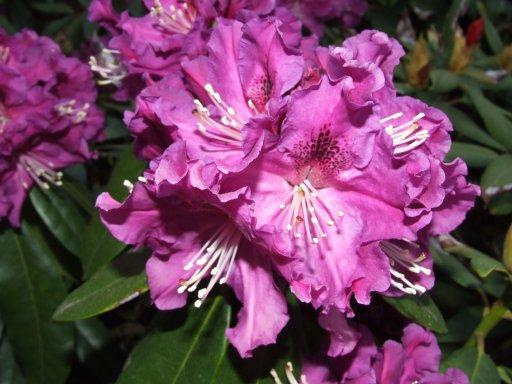 rhododendron lee darks purple park graveland rhododendron we. Black Bedroom Furniture Sets. Home Design Ideas