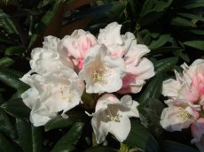 Rhododendron Edelweiss