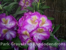 Rhododendron Blue Bell