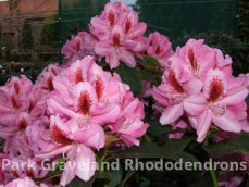 Rhododendron Furnivals Daughter