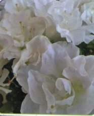 Azalea japonica Cottage White