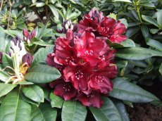 Rhododendron Black Widow