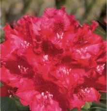Rhododendron Cherry Kiss