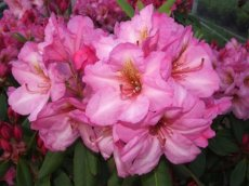 Rhododendron Duke of York