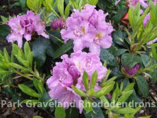 Rhododendron Goldfinger