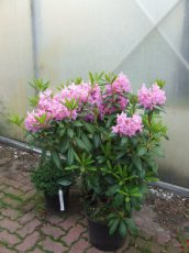 Rhododendron groot in pot
