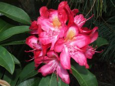 Rhododendron Junifeuer