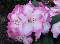 Rhododendron Lems monarch