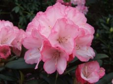 Rhododendron Love Song