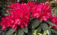 Rhododendron Roter Stern