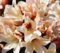 Rhododendron Starbright Champagne